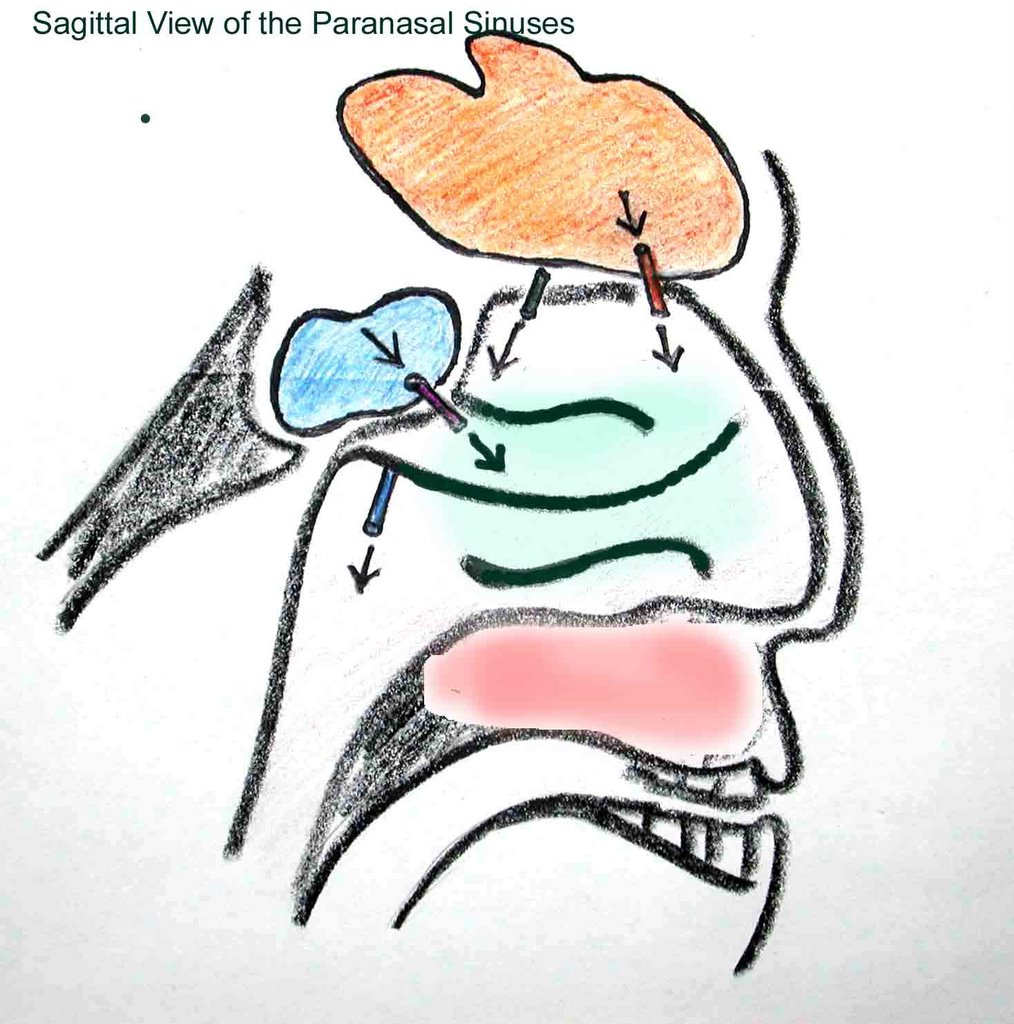 ANATOMY OF THE HUMAN EYE: What are the paraorbital sinuses?