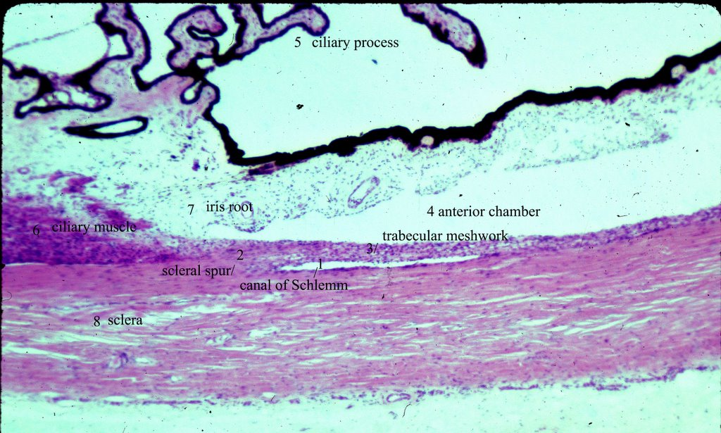 Anatomy Of The Human Eye Anterior Chamber Angle Labeled